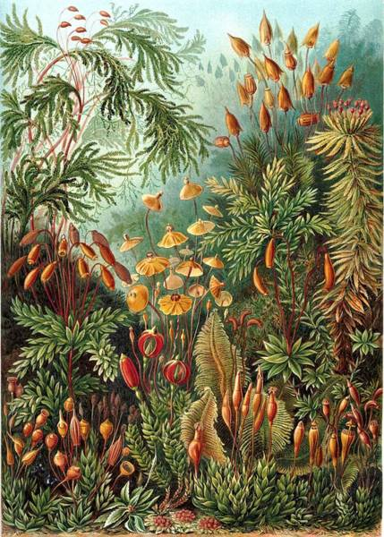 Digital Art - Moose Eurhynchium Haeckel Muscinae by Movie Poster Prints