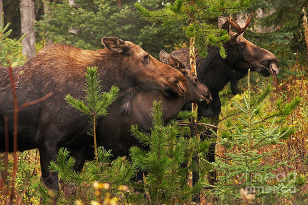 Bull Moose Photograph - Moose Family At The Shredded Pine by Stanza Widen
