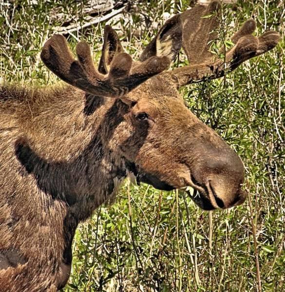 Bull Moose Photograph - Moose Head by Dan Sproul