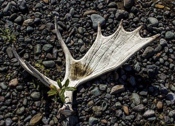 Photograph - Moose Horn 2 by Fred Denner