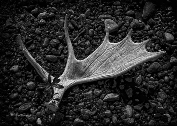 Photograph - Moose Horn by Fred Denner