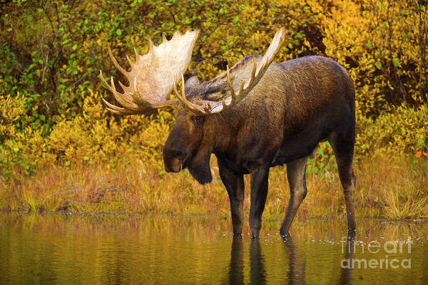 Wall Art - Photograph - Moose In Glacial Kettle Pond  by Yva Momatiuk John Eastcott