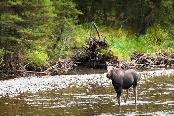 Photograph - Moose In Yellowstone National Park   by Lars Lentz