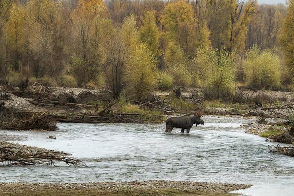 Photograph - Moose Mid-stream - Grand Tetons by Belinda Greb