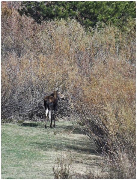 Photograph - Moose by Susan Kinney