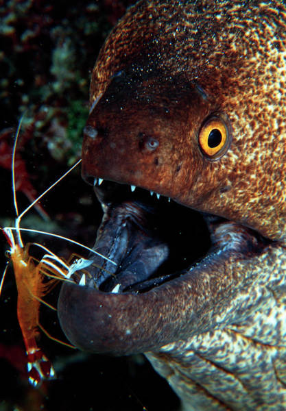 Eels Photograph - Moray Eel & Shrimp by Matthew Oldfield/science Photo Library