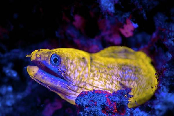 Eels Photograph - Moray Eel Fluorescing At Night by Louise Murray/science Photo Library