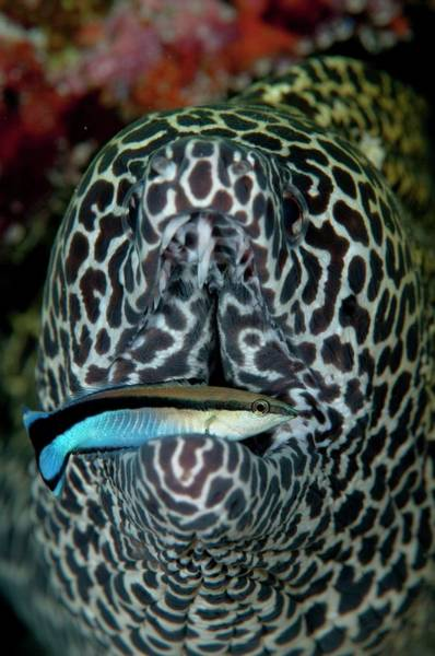 Eels Photograph - Moray Eel With Cleaner Wrasse by Scubazoo