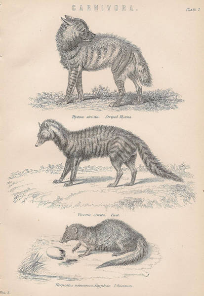 Carnivorous Drawing - More Carnivorous Animal Drawings by Anon