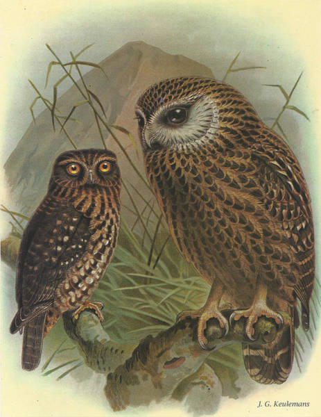Owl Painting - Morepork And Laughing Owl by Dreyer Wildlife Print Collections