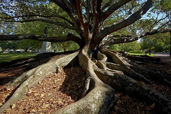 Auckland Photograph - Moreton Fig Tree (ficus Macrophylla by David Wall