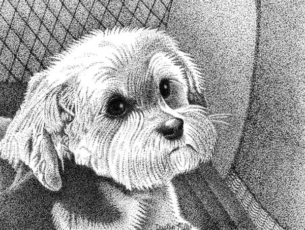 Drawing - Morkie by Dustin Miller