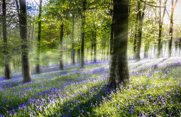 Bluebell Photograph - Morning Bluebells by Ian Hufton