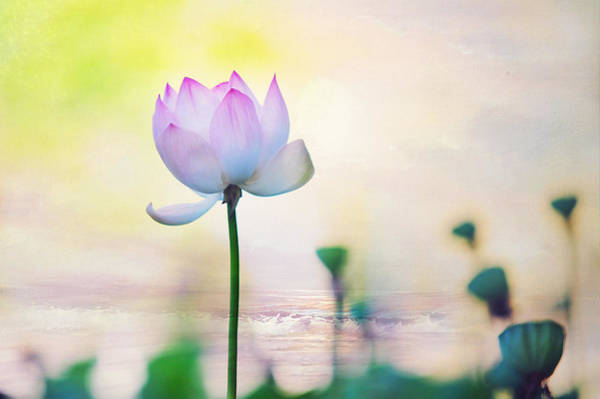 Pray For Love Wall Art - Photograph - Morning Breeze And Beautiful Lotus by Jenny Rainbow