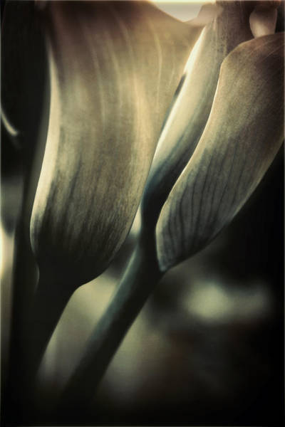 Calla Photograph - Morning Commute by Darlene Kwiatkowski
