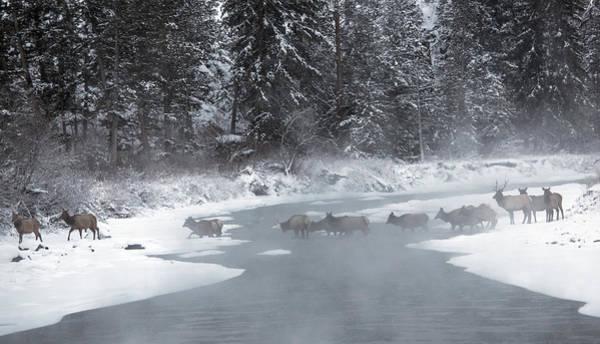 Elk Herd Photograph - Morning Crossing by Sandy Sisti