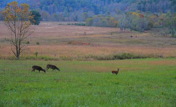 White Tailed Deer Photograph - Morning Deer In Cades Cove by Dan Sproul