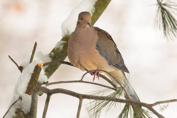 Fowl Photograph - Morning Dove by Everet Regal