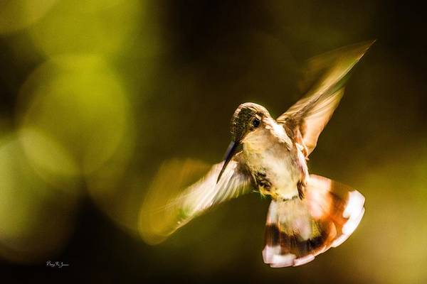 Photograph - Hummingbird - Morning Flight by Barry Jones