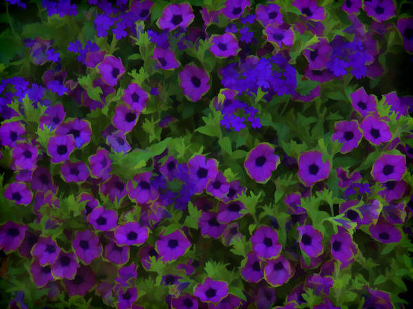 Convolvulaceae Wall Art - Photograph - Morning Glories Are Beautiful by Thomas Young