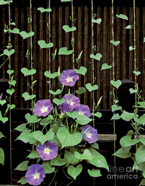 Convolvulaceae Wall Art - Photograph - Morning Glories by Dunq