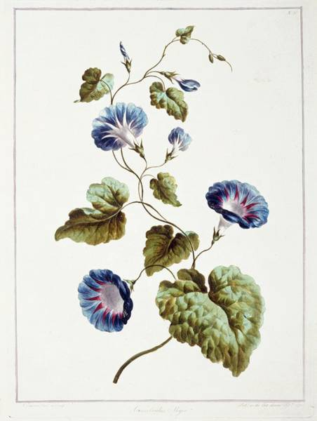 Convolvulaceae Wall Art - Photograph - Morning Glory Convolvulus Major by Natural History Museum, London/science Photo Library