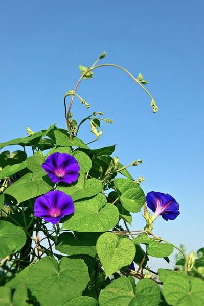 Convolvulaceae Wall Art - Photograph - Morning Glory Flowers by John Greim/science Photo Library