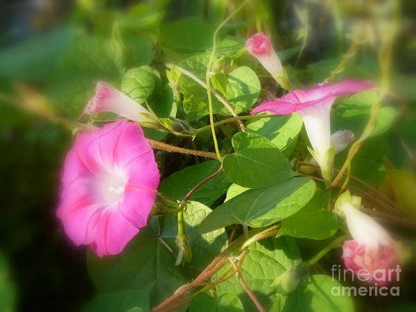 Convolvulaceae Wall Art - Photograph - Morning Glory In The Sun by Lingfai Leung