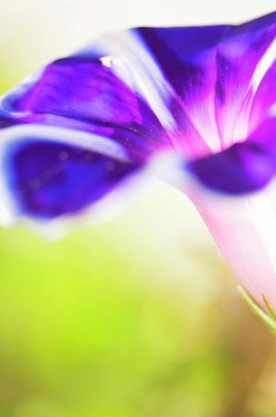 Morning Glory Photograph - Morning Glory (ipomoea) by Maria Mosolova/science Photo Library