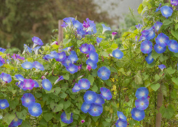 Photograph - Morning Glory  by Kim Hojnacki