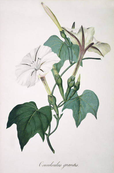 Morning Glory Photograph - Morning Glory by Natural History Museum, London/science Photo Library