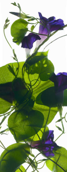 Stem Digital Art - Morning Glory Rising by Julia McLemore