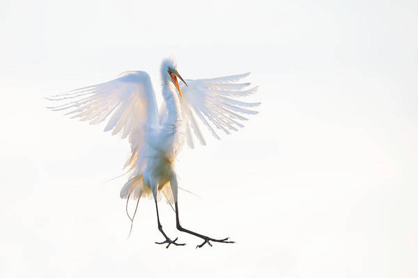 Flying Bird Photograph - Morning Landing by Phillip Chang