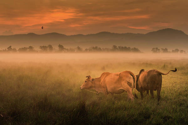 Cow Photograph - Morning Life by Thanapol Marattana