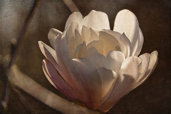 Photograph - Morning Magnolia Blossom by Theo O'Connor