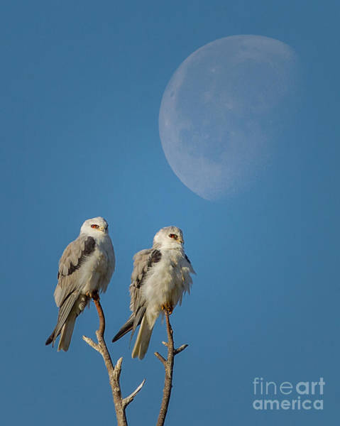 White-tailed Kite Photograph - Morning Moon Over Kites by Kim Michaels