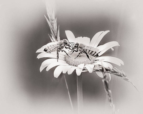 Honeybees Wall Art - Photograph - Morning News by Susan Capuano