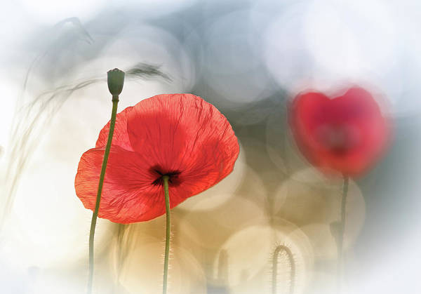 Red Flower Photograph - Morning Poppies by Steve Moore