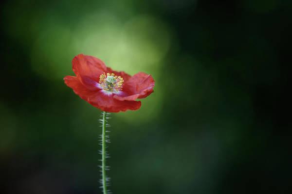 Wall Art - Photograph - Morning Poppy by Lotte Gr??nkj??r