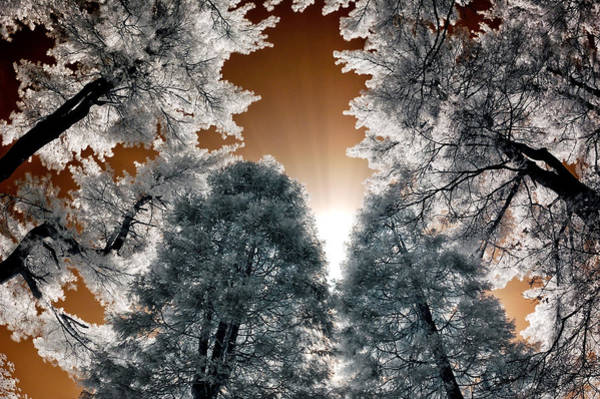 Photograph - Morning Sun And Pines by Steve Zimic