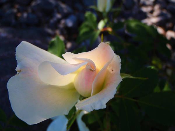 Photograph - Morning Sun Rose by Roxy Hurtubise
