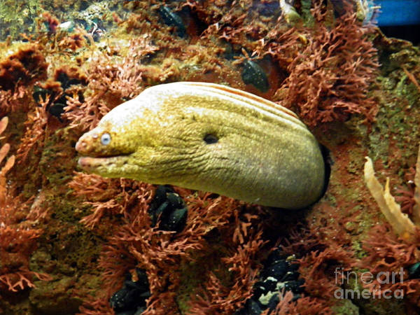 Wall Art - Photograph - Morray Eel by Emily Kelley