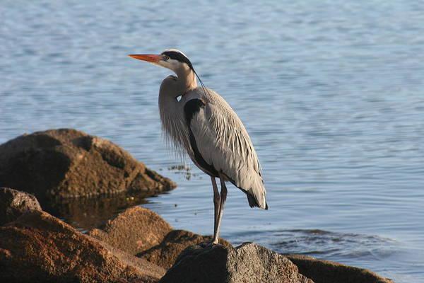 Photograph - Morro Bay Egret by Tony and Kristi Middleton