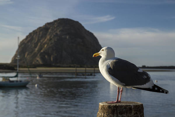 Photograph - Morro Bay Seagull by Jim Moss