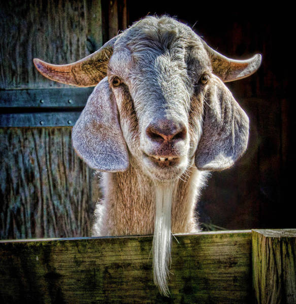 Photograph - Mortimer The Goat by Beth Sawickie