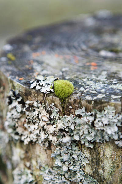 Lichens Photograph - Moss And Lichen by Gustoimages/science Photo Library