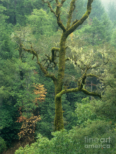 Photograph - Moss Covered Tree Central California by Dave Welling