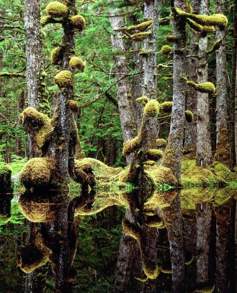 Spruce Photograph - Moss-covered Tree Trunks Reflecting In Swamp Water by David Nunuk/science Photo Library