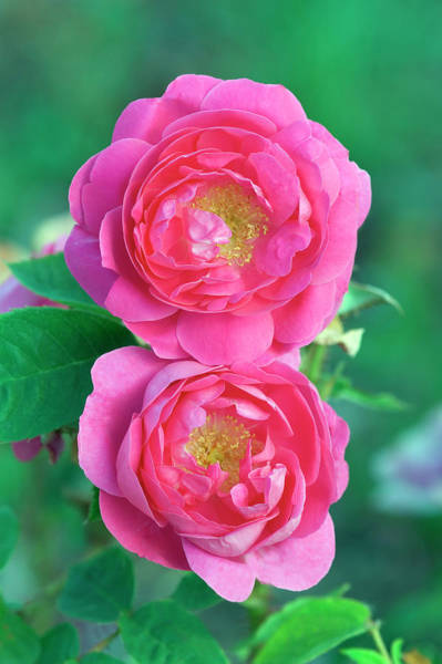 Baron Photograph - Moss Rose (rosa 'baron De Wassenaer') by Brian Gadsby/science Photo Library