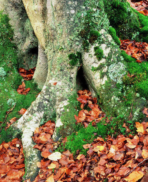 Lichens Photograph - Mosses And Lichen Around Beech Tree by Simon Fraser/science Photo Library